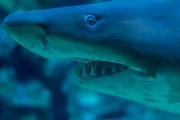 定番のサメ